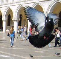 Pigeon by BlackPanter-stock