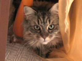 Maine coon by Blaukralle