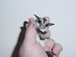 Sugar Glider by PammyPooh