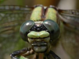 Dragonfly Macro 11 by Twitch1977