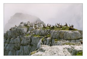 Ibexes by greatbelow2