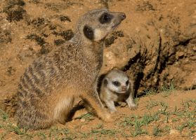 Meerkat and Baby by tpphotography