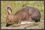 Foraging Snowshoe Hare by kootenayphotos