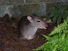 Red-eyed Blue Duiker by PearlyPony