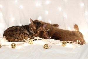 Festive Kitten Stock Outake 2 by FurLined