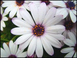 Daisy with drops II by Pollon82