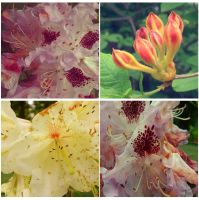 Rhododendron II. by mytruelies