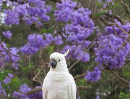 Cockatoo posing with Jacaranda tree by BGai