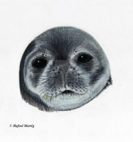 Weddell Seal by RafaelDavid