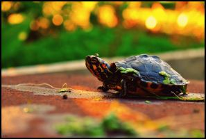 Turtle . by Nattacia