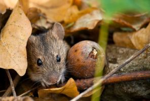 Yellow-necked mouse by Johnnatan