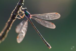 dragonfly by Kn3xX