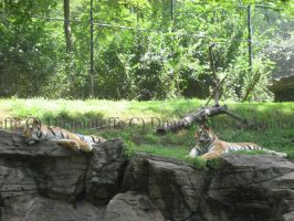 Reclining Tigers by Duamuteffe