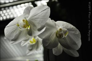 White Orchids by Flower-of-Grace