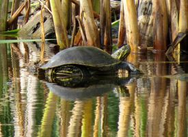 painted turtle.. by Nipntuck3