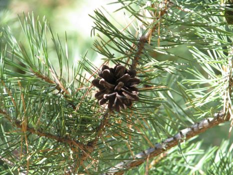 Pine cone by Krimmro