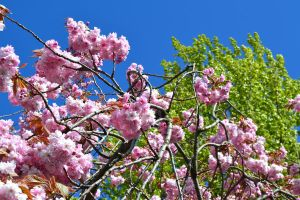Cherry Blossom by serialphotographer