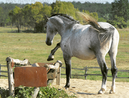 Lipizzaner Stallion - Stock 6 by Liaram