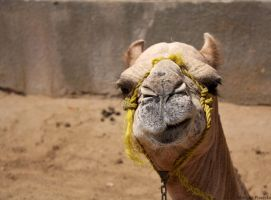 Camel by Piasecka