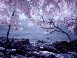 Pinky Blossoming infrared by MichiLauke
