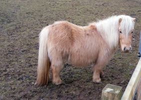 Shetland Pony Stock 1 by Meta-Stock