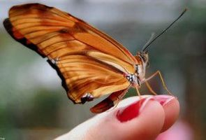 Papillon VII by Insect-Lovers-Club