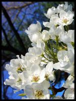 Blossoms by halley