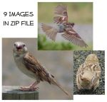 Various House Sparrows by SalsolaStock