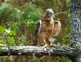 Red Tailed Hawk by oliveramy