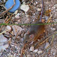 House Mouse by Faunamelitensis