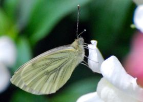 Cabbage white butterfly by Mark-Allison