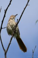 Brown Thrasher by GuillaumGibault