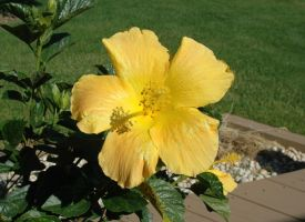 Yellow Hibiscus by Gryffgirl
