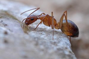 Thirsty ant by buleria