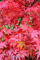 Red Maple Leaf Stock Vertical by aegiandyad