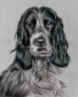 Spaniel by Particularly-x