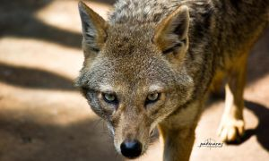 The Jackal by Fotograpfie