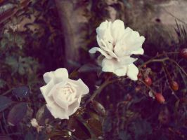 Winter Roses I by Ninelyn