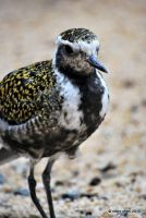 Golden Plover by meihua