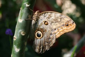 Owl-eyed butterfly by LadyLyonnesse