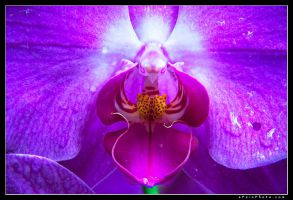 Orchid by aFeinPhoto-com