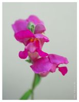 snapdragon...3 by FeliFee