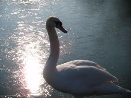 Swan in the sunlight 2 by Tigzzz