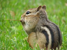 Chipmunk by blackwolf18