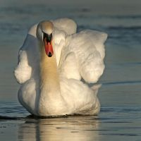 Evening swim - Mute Swan by Jamie-MacArthur