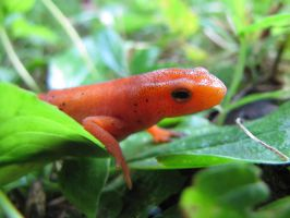 Red eft by Ekira-Txonite