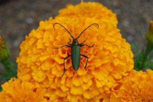 A beetle, nice contrast by Simmeson