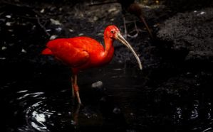 Scarlet Ibis by Yair-Leibovich