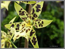 Yellow spotted orchid by Mogrianne