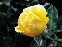 Yellow Rose by SuperPichi